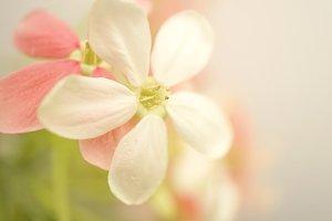 rangoon flower