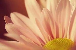 pink chrysanthemums in vintage color