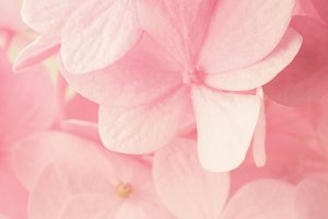 sweet pink hydrangeas in soft color