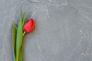 Red spring tulip