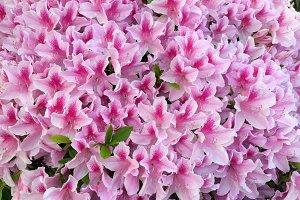 Pink Azaleas Aplenty