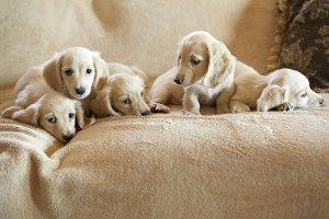 Blonde Dachshund Family