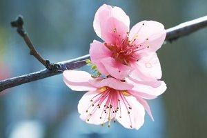 Almond pink flowers