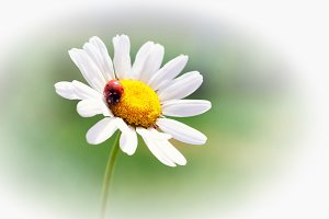 White flower daisy- camomile