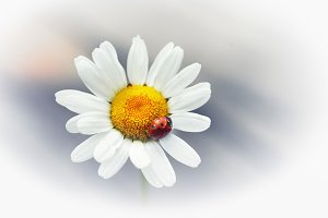 White flower daisy- camomile