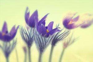 Violet flowers (Pulsatilla patens)