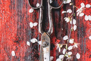 Vintage scissors and blossom branch