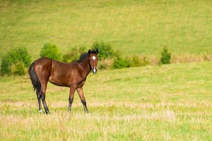 Dark bay horse on a meadow