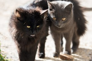 Two black and gray cats