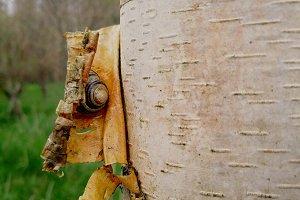 Snail Hiding in Bark
