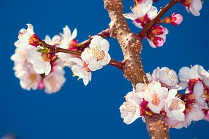 Flowering apricot tree branch against the sky