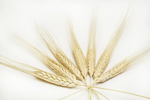 Wheat ears on white