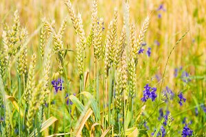 Field of wheat with blue flowers