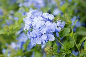 Blue plumbago flower