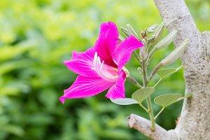 Purple bauhinia flower