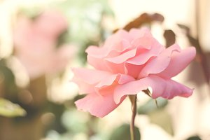 Perfectly Pink 2 - Beautiful Rose