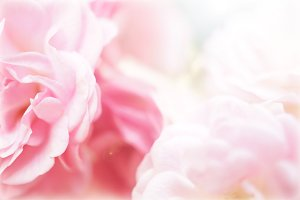 sweet pink roses in blur style