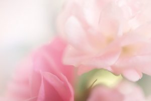 sweet color roses in blur style