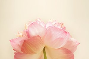 lotus in soft style