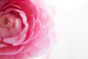 Pink Ranunculus Fade