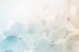 Vivid colorful hydrangea petals