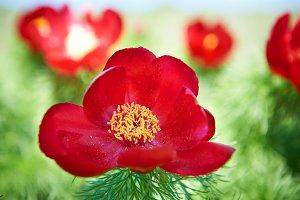 Beautiful red flowers peonies