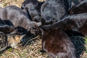 Group of black cats eating