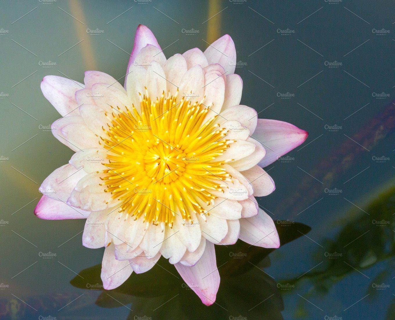 Blooming Lotus Flower Photos Creative Market