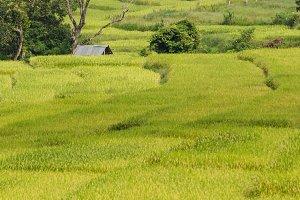 Thailand Terraced Rice Field