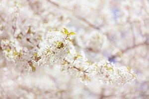 Apple Blossom, almond or sakura.