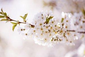 Beautiful flowers on the blossom apple tree