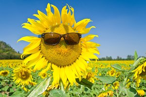 Sunflower with sun glasses