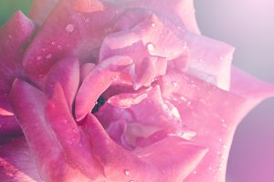 Pink roses with drop water.