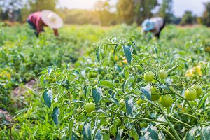 farmer harverting fresh tomatoes