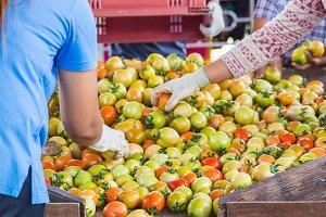 Farmer selective tomatoes.