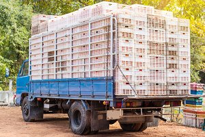 truck transporting ripe tomatoes.