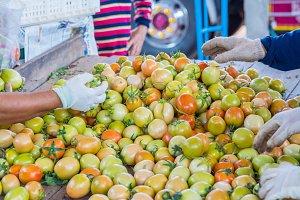 Farmer selective tomatoes