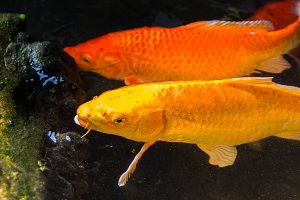 Yellow koi fish