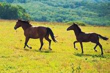 Running dark bay horses in a meadow
