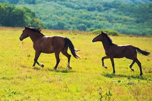 Running dark bay horses in a meadow