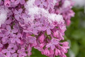 Lilac flower in spring and winter