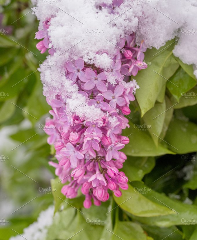 Lilac flower in spring and winter - Nature