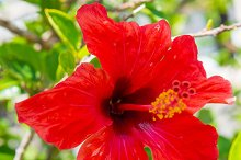 Red tropical flower hibiscus