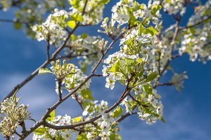 Spring flowering tree in a blue sky