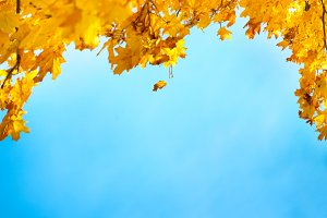 Golden, yellow and orange leaves