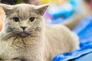 Adorable britan gray cat