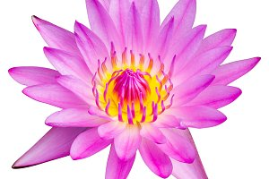 Lotus flower isolated