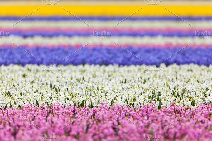 Hyacinth. Beautiful colorful flowers - Nature