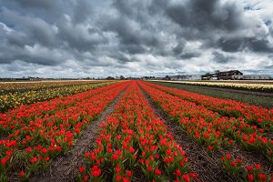 Flowers. Beautiful colorful tulips