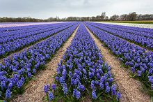 Hyacinth. Beautiful colorful flowers